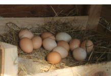 koy yumurtası satarak para kazanmak