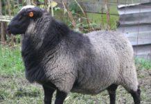 Romanov koyun yetiştirme iş fikri