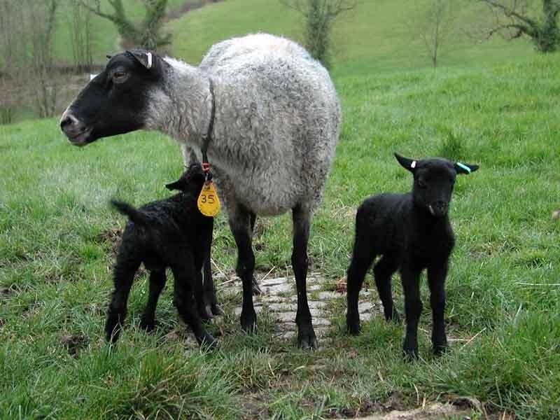 Romanov koyun çiftliği kurma
