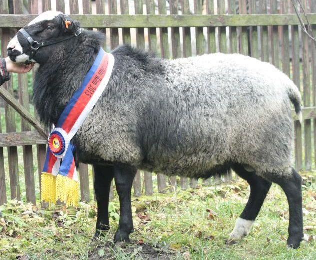 Romanov koyun yetiştirmek karlı mıdır