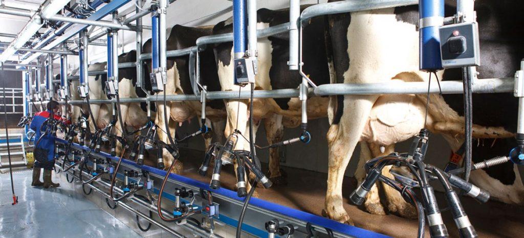100 büyük baş için süt sağım maliyeti hesaplaması