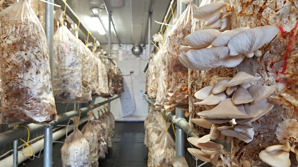 istiridye mantarı üretimi