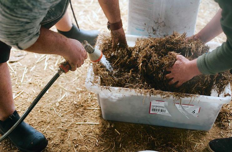 İstiridye mantarı kompostu hazırlanışı