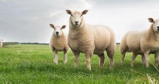 300 Koyun Hibe Şartları Nelerdir? | Küçükbaş Hayvan Desteği