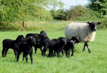 Kuzu, dişi ve erkek romanov koyun fiyatı